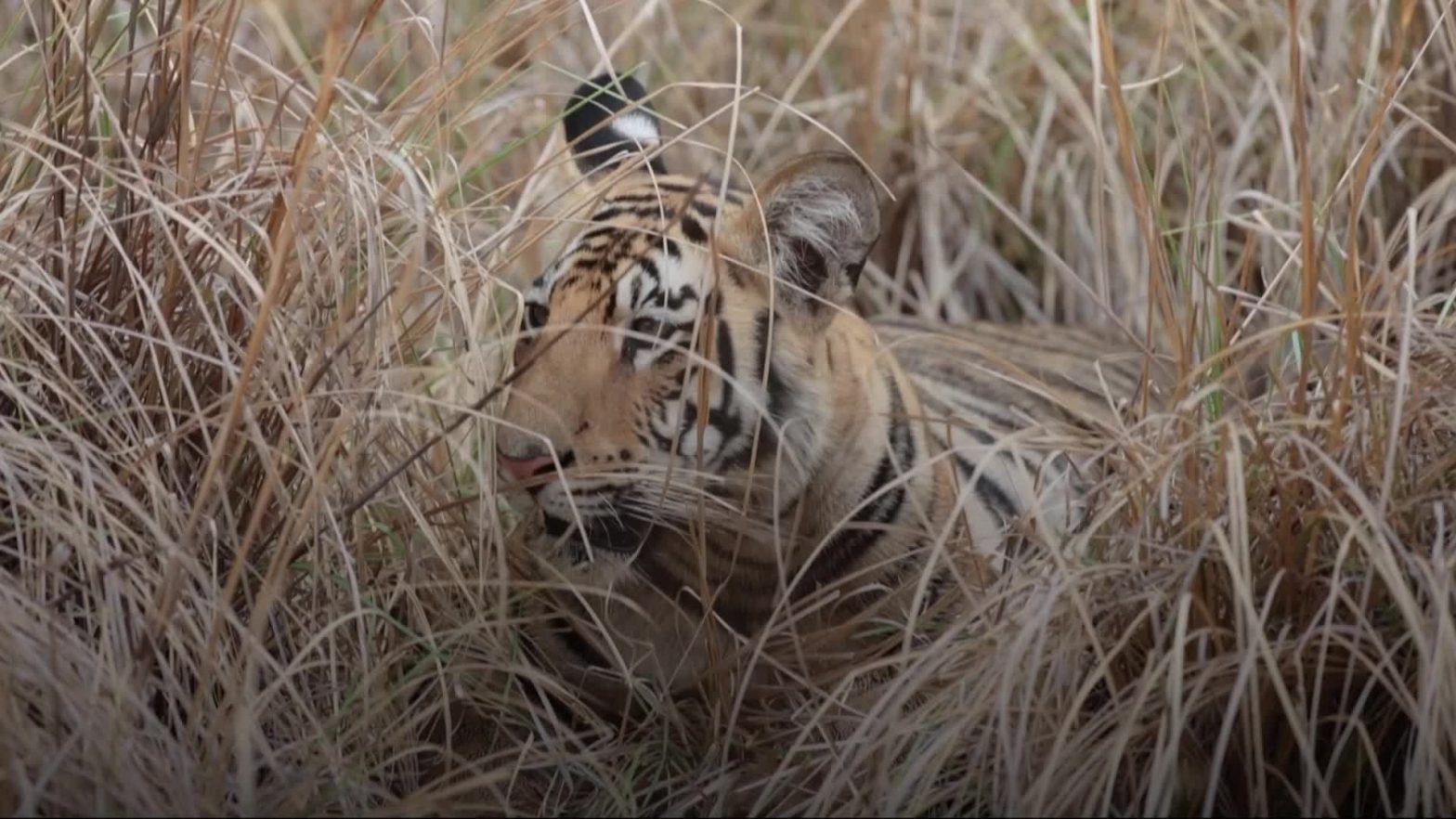 celebrities-and-campaigners-join-forces-for-international-tiger-day